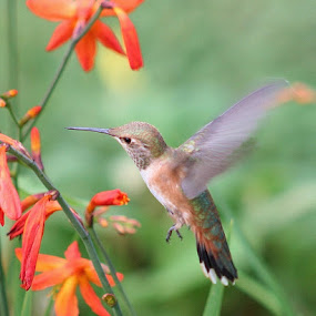 Anna's Hummingbird by Sherri Woodbridge - Animals Birds ( crocosmia, hummingbird, flower,  )