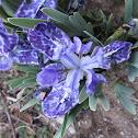 Iris Kemaonensis Pangboche