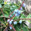 Oregon-grape holly