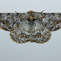 Biston Suppressaria Moth