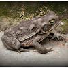 Argentine toad(Sapo argentino).