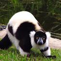 Lemur superado