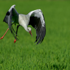 take off by Riccardo Trevisani - Uncategorized All Uncategorized ( riccardo trevisani, bird, cicogna, wildlife )