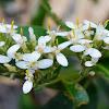 Vsicid Daisy-bush