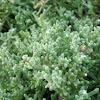 Mesembryabthemum nodiflorum  (Barrilla, escarchada)
