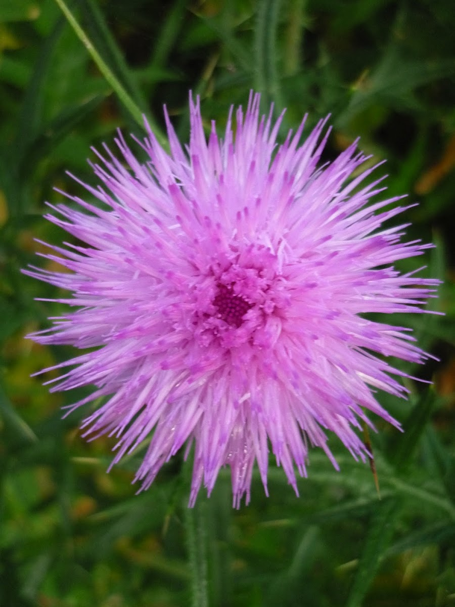 Cirsium vulgare(Spear Thistle)