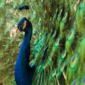 Peacock by Marcelino Moningka - Animals Birds ( bird, wild, peafowl, peacock, animal,  )
