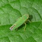 Zebra Leafhopper