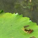 Common Greenback Frog