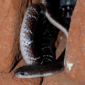 Indian Snakes icon
