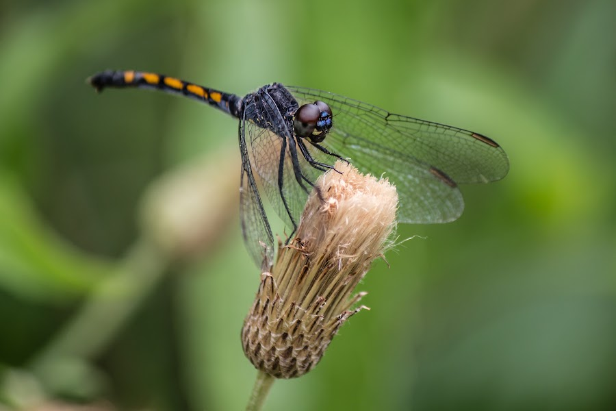 Resting Dragonfly by Kathy Jenkins - Animals Insects & Spiders ( dragonfly )