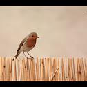 European Robin - pettirosso