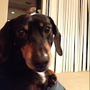 Dog(Dachshund)