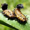 Argus Tortoise Beetle larvae