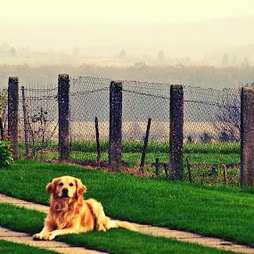 Guard by Kaja Radošević - Animals - Dogs Portraits