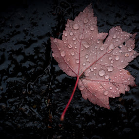 All Wet by Jennifer Bacon - Nature Up Close Leaves & Grasses ( water, fall leaves on ground, fall leaves, red, nature, drop, wet, leaf, maple leaf )