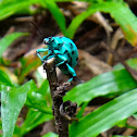 Brazilian Blue Weevil (Besouro-Jóia)