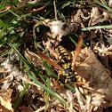 Paper wasp (European?)