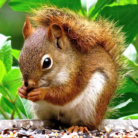LITTLE SQUIRREL by Doug Hilson - Animals Other Mammals (  )