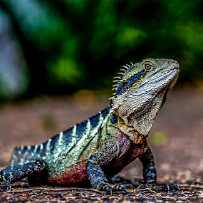 Water Dragon Portrait by Emily James - Animals Reptiles ( lizard; water dragon; botanical gardens,  )