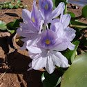Flower Water Hyacinth