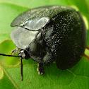 Black Tortoise Beetle