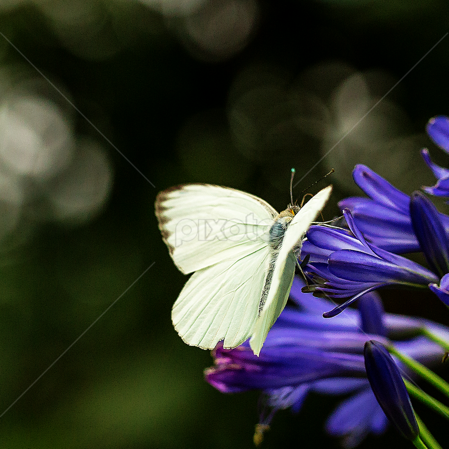 White Butterfly on Blue Flower by Ken Wade - Animals Insects & Spiders