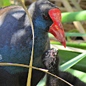 Purple Swamphen and Baby