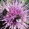 Garden Bumblebees