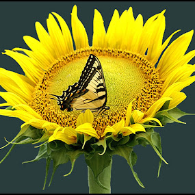 Sunflower Butterfly by Joseph T Dick - Animals Insects & Spiders