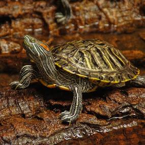 Bathing Beauty by Tammy Drombolis - Animals Reptiles (  )