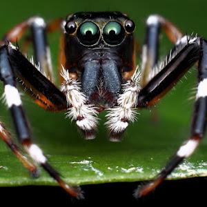 Jumping Spider..JPG