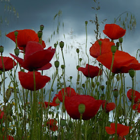 red poppies by Marijan Alaniz - Flowers Flowers in the Wild ( wild, red, nature, poppies, flowers, , green, colorful, mood factory, vibrant, happiness, January, moods, emotions, inspiration )