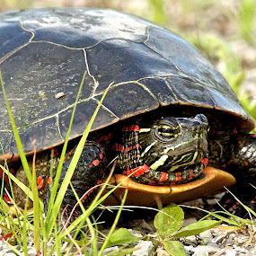 Painted close up by Kimberly Davidson - Animals Other ( wildlife, painted turtle, turtle, close up, portrait,  )