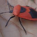 Red Pumpkin Bug / Cucurbit Stink Bug