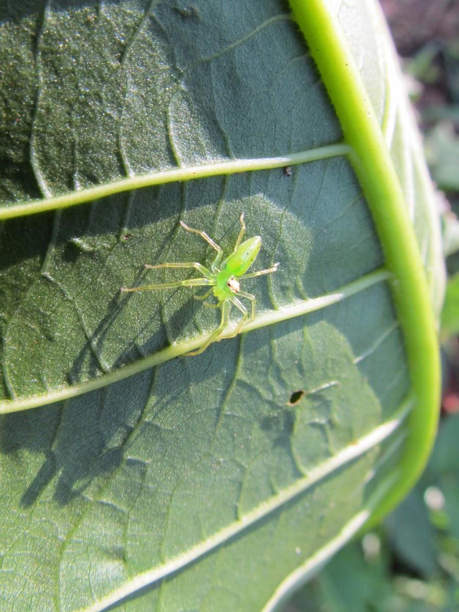 Jumping Spider (Lyssomanes)