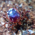 Lone Star Tick, male