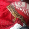 Leopard spotted gecko