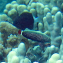 Psychedelic Wrasse