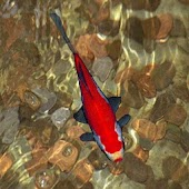 Red Koi Fish in Wishing Well