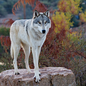 Tundra Gray Wolf by Cheryl Nestico - Animals Other Mammals ( wild life, wolf, white wolf, wildlife, out of africa,  )