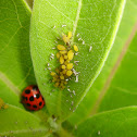 Multicolored Asian Lady Beetle and Oleander Aphids