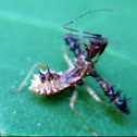 Spined Assassin Bug, nymph