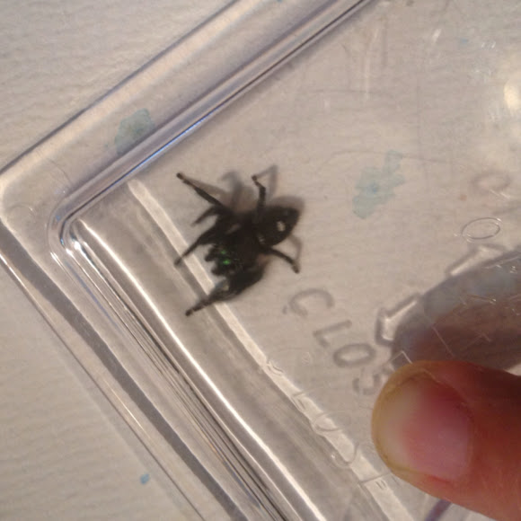 Bold Jumping Spider | Project Noah