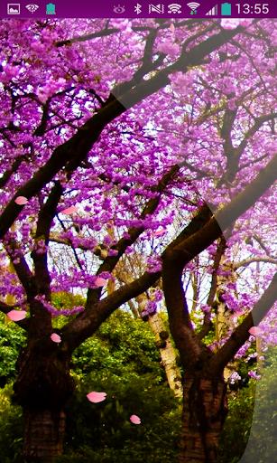 Rain Falling Flow Sakura HD