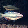 Tropical carp-gudgeon