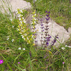 Meadow Sage, livadna kadulja
