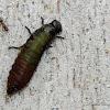 Australian Tortoise Beetle Larvae