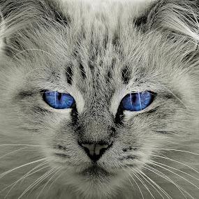 Hypnotic. by Miguel Silva - Animals - Cats Portraits ( cat, miguel silva, blue eyes, viseu, portugal, hypnotic, portrait, animal,  )