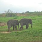Baby Asian Elephant in Way Kambas NP